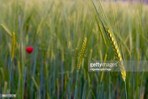 Spring landscape with cereal spikes and poppies