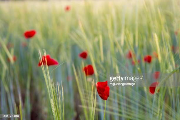 Spring landscape with cereals and poppies