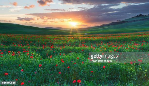 Spring landscape with poppies in Tuscany, Italy