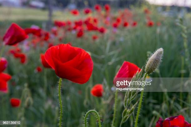 Spring landscape with poppies