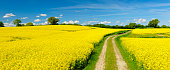 Spring Landscape with Winding Dusty Farm Road Through Canola Fields