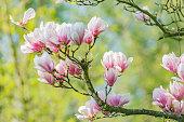 spring magnolia and blue sky