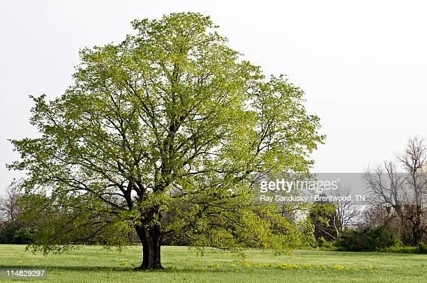 Spring Maple, Sandusky