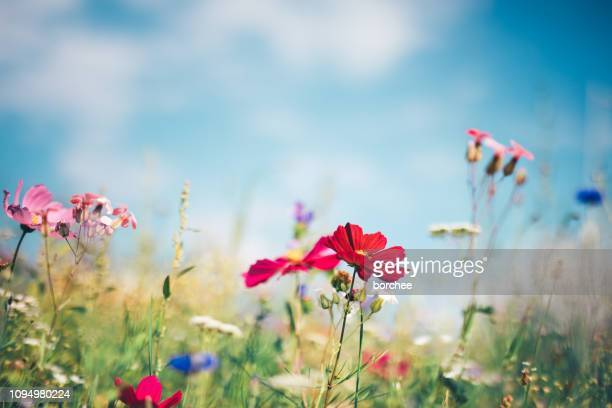 spring meadow - wildflower stock pictures, royalty-free photos & images