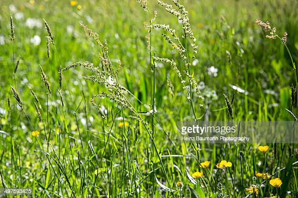 Spring meadow, Sonvico, Ticino, Switzerland