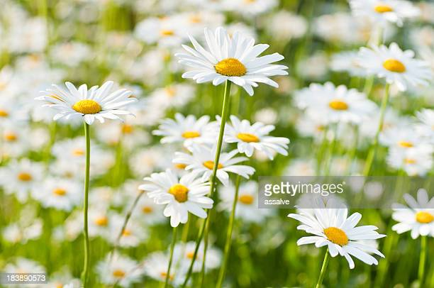 spring meadow wiht marguerite daisy - marguerite daisy stock photos and pictures