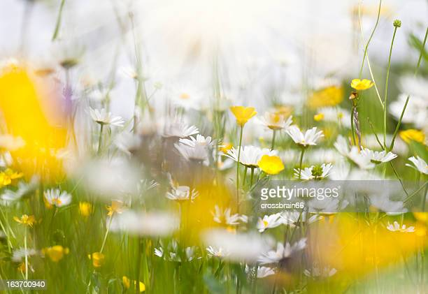 spring meadow with daisy flowers brightly illuminated by the sun - marguerite daisy stock photos and pictures
