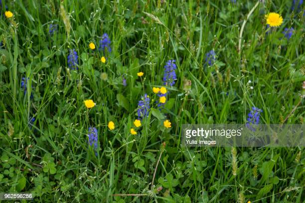 spring meadow with dandelions and grape hyacinth - uncultivated stock pictures, royalty-free photos & images