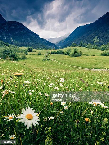 spring meadow with dramatic sky near steeg- tirol austria - marguerite daisy stock photos and pictures