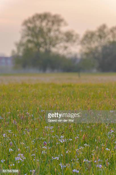Spring meadow with Snake's Head Fritillary flowers in spring