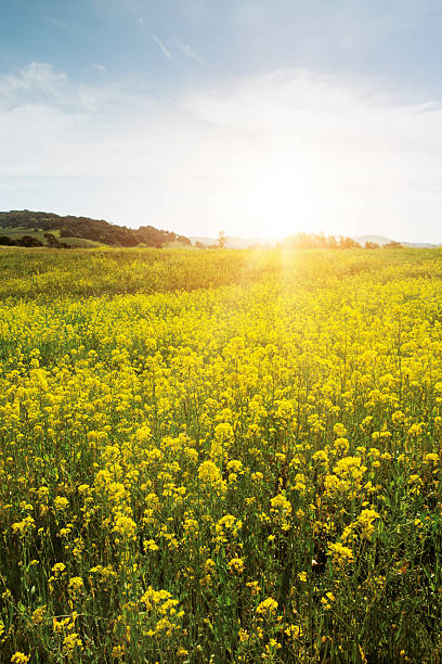 Spring meadow with yellow flowers
