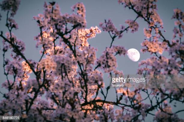 spring moon - pink moon stock pictures, royalty-free photos & images