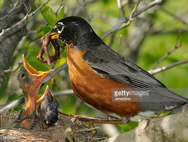 spring! mother robin feeds worm to nest of hungry babies - worm stock photos and pictures
