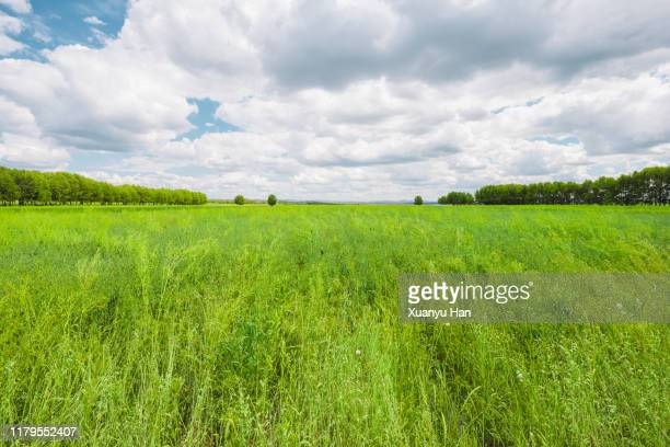 spring on meadow. fresh grass and white clouds - hebei province stock pictures, royalty-free photos & images