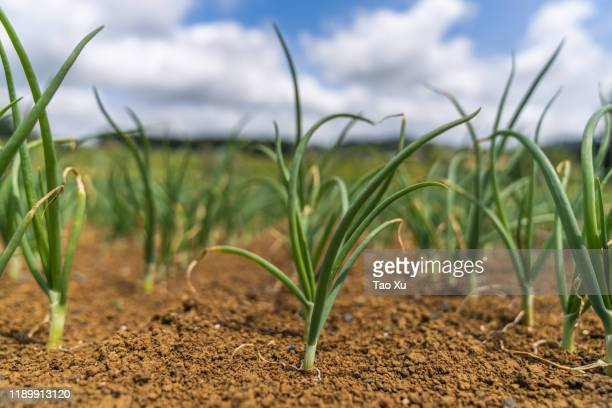 spring onion field - lush stock pictures, royalty-free photos & images