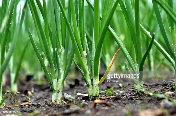 Allium cebolletas (cepa) en el jardín