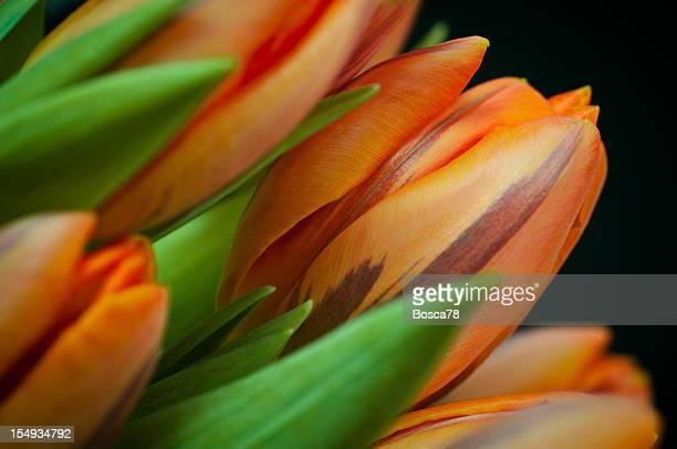 orange printanier tulipes gros plan