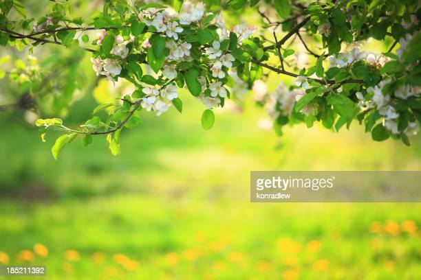 Spring orchard - Blooming Tree