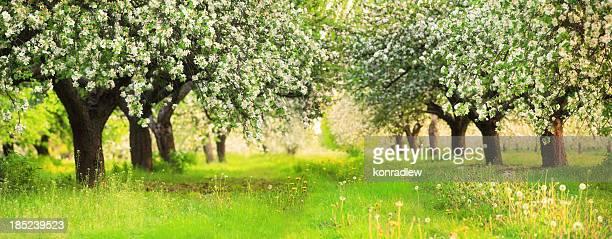 Arbres fruitiers en fleurs au printemps, peu profond DOF 36 Mpix Panorama