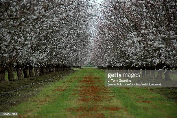 Spring Orchard Flowering Almond Trees