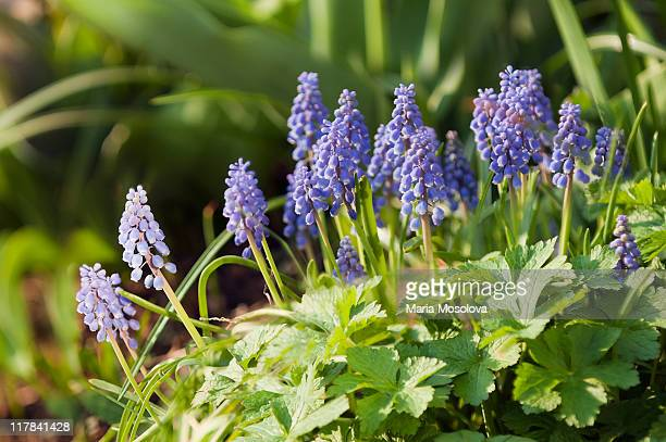 spring patch of blue muscari flowers - muscari armeniacum stock pictures, royalty-free photos & images