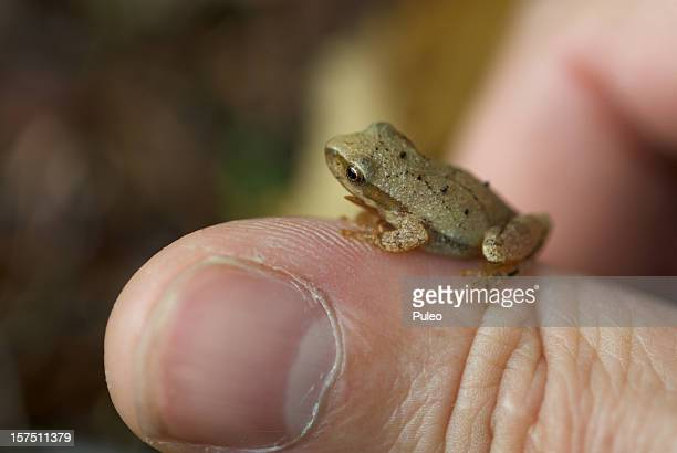 spring peeper - animal finger stock photos and pictures