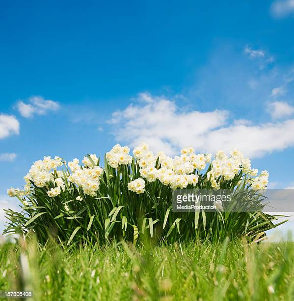 spring - field of daffodils stock pictures, royalty-free photos & images