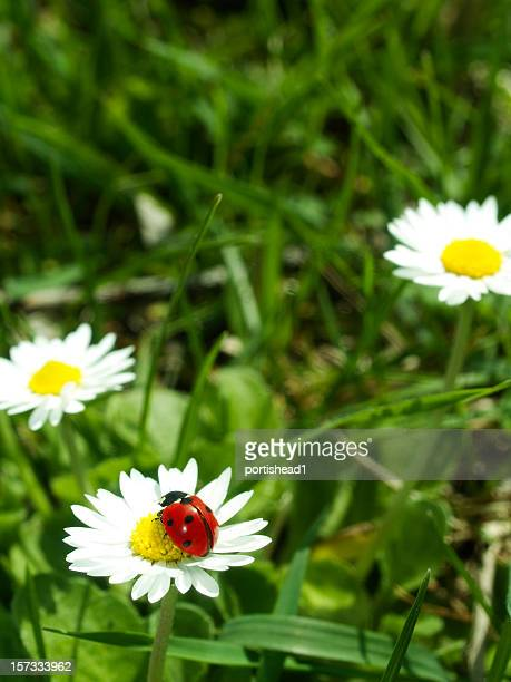 spring - seven spot ladybird stock pictures, royalty-free photos & images
