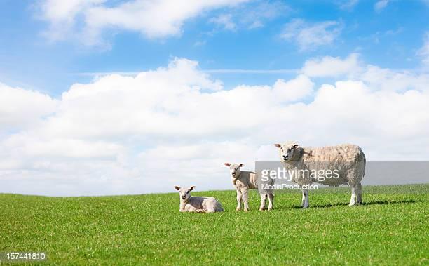 la primavera - agnellino foto e immagini stock