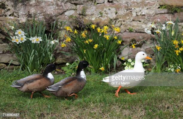 spring - pekin duck stock pictures, royalty-free photos & images
