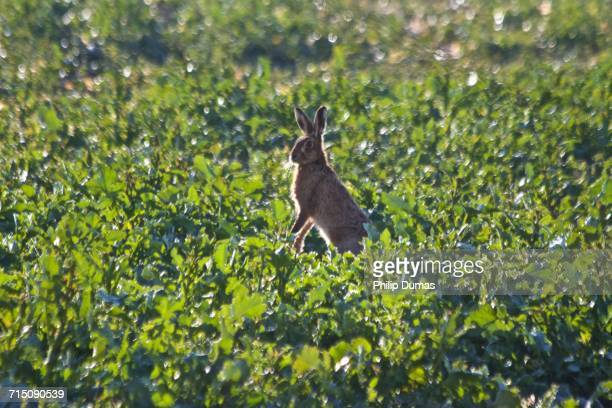 spring - mad march hare stock photos and pictures