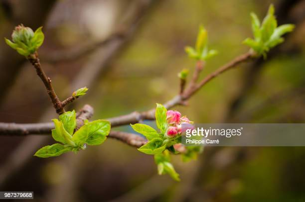 spring.... - apple blossom tree stock pictures, royalty-free photos & images