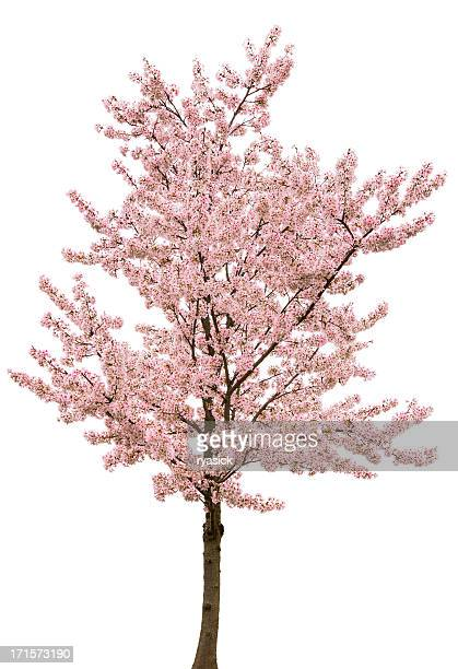 Spring Pink Blossom Tree Isolated on White