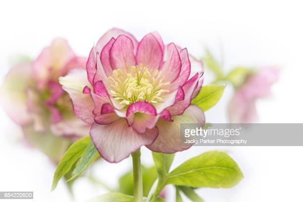 Spring Pink Hellebore Flowers