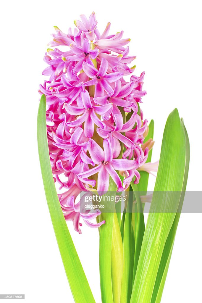 Spring pink hyacinth isolated over white background : Stock Photo