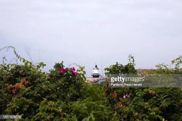 Spring Point Ledge Light seen through a patch of beach roses on Wednesday, June 24, 2020.