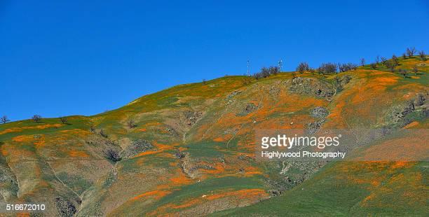 spring poppies on the grapevine - highlywood fotografías e imágenes de stock