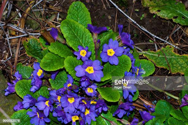spring primrose - nigel owen stock pictures, royalty-free photos & images