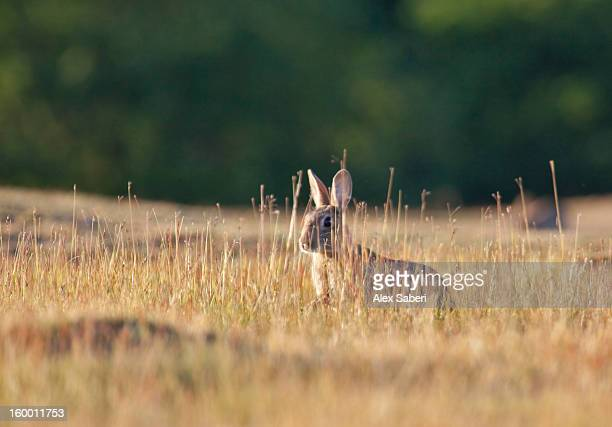 a spring rabbit, oryctolagus cuniculus, in the evening. - alex saberi stock pictures, royalty-free photos & images