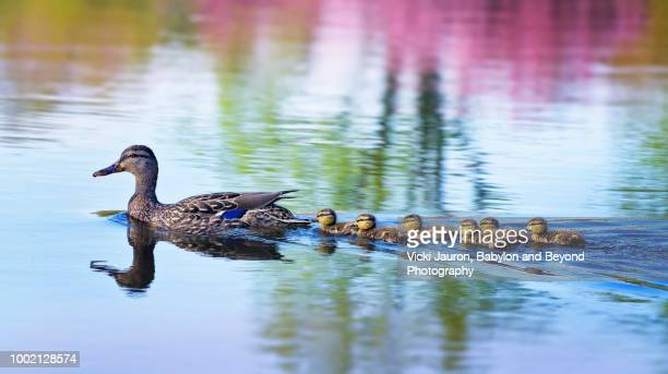 spring reflection in water and duckling family swim - following stock pictures, royalty-free photos & images