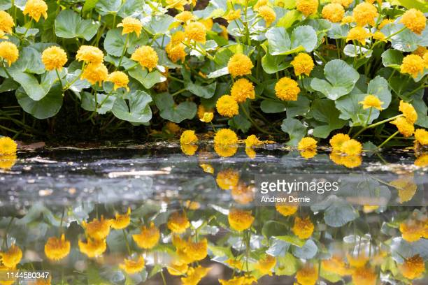spring reflections - andrew dernie stock pictures, royalty-free photos & images