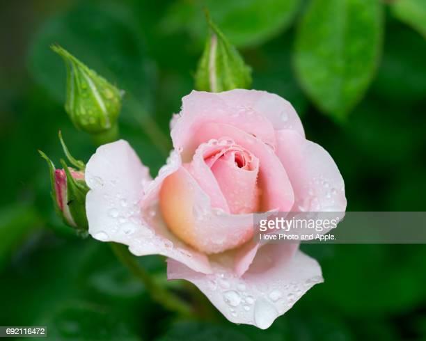 Spring rose flowers