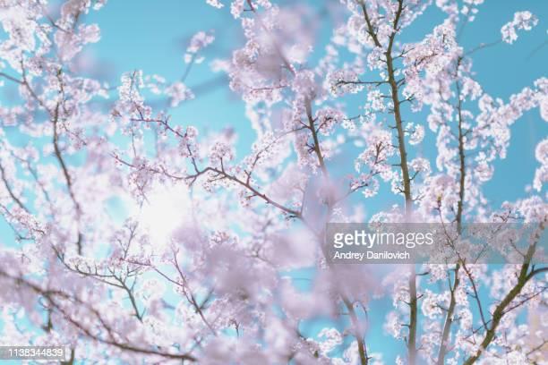 春のシーン-青空の背景にピンクの桜の花。パステルカラーの色調。 - 桜 ストックフォトと画像
