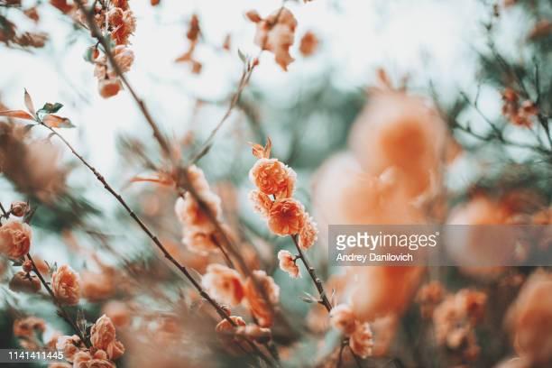 frühlingsszene-rosa kirschblüte. pastellfarben getönt. - pastellfarbig stock-fotos und bilder