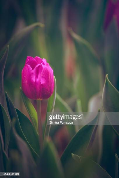 Spring scenes of pink tulips blooming flowers in the garden with colorful tulip soft nature background and wallpaper