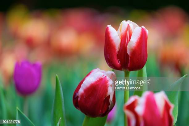 Spring scenes of red tulips blooming flowers in the garden with colorful tulip soft nature background and wallpaper