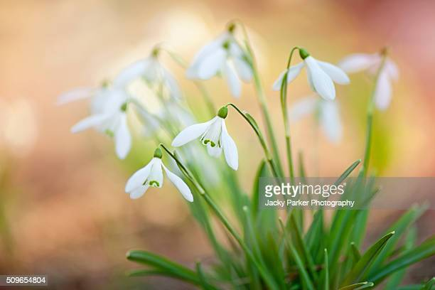 spring snowdrops - galanthus nivalis - snowdrop stock pictures, royalty-free photos & images