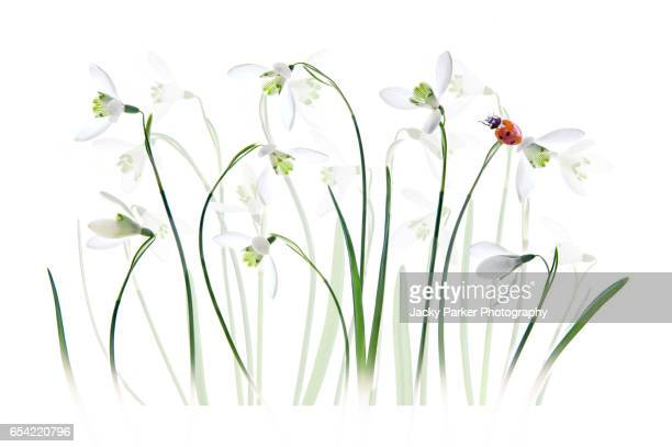Spring Snowdrops with ladybird