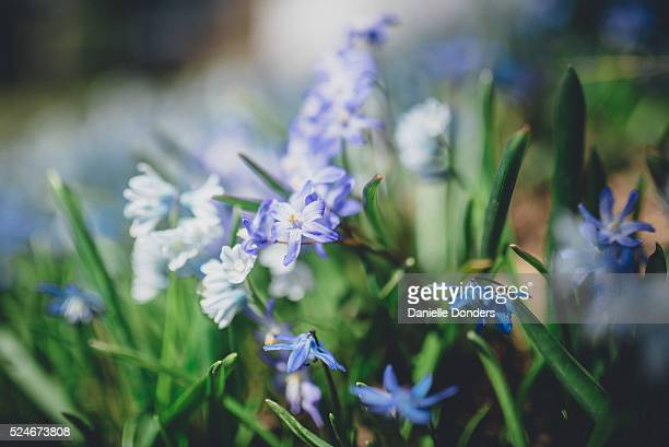 """spring squill (scilla verna) in the garden - """"danielle donders"""" stock pictures, royalty-free photos & images"""