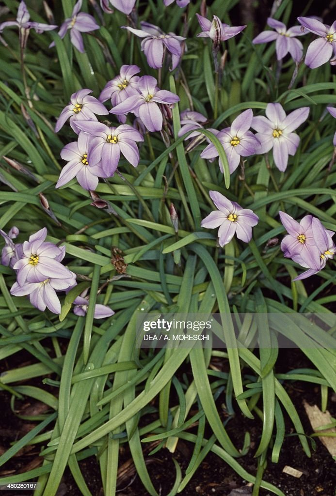 Spring Starflower Pictures Getty Images